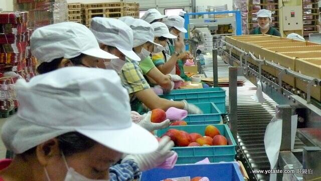 眼鏡伯芒果產線經過人工目視,淘汰未達品質的芒果